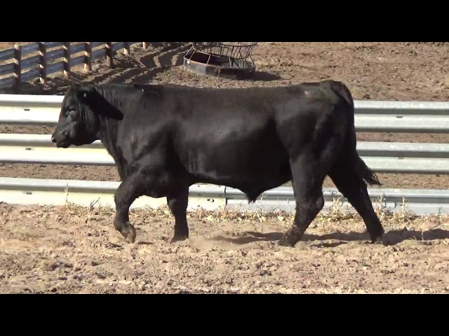 Connealy Angus Lot 236