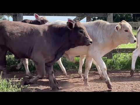 LOTE P01 - 28 TERNEIROS CRUZADOS PESO MÉDIO 256 KG - GMC