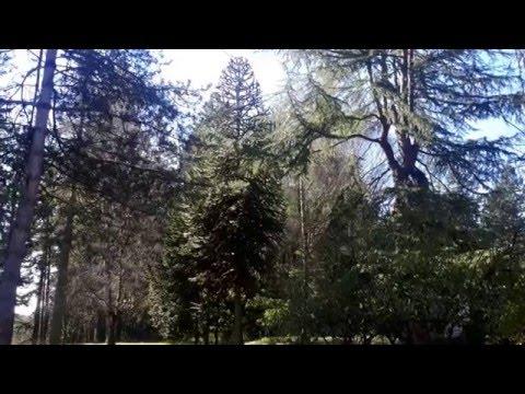 Monkey Puzzle Tree / Araucaria araucana