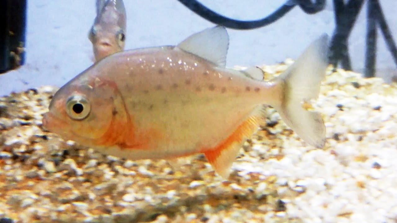 Download La piraña de vientre rojo (Pygocentrus nattereri) Ficha Técnica