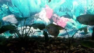 Аквариум .Содержание рыбок Гурами и Петухи.