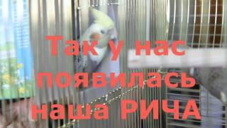 Попугаи кореллы  С чего всё началось. Распаковка. Июнь 2013г(А этот ролик о том, как у нас появилась Рича - наш первый попугай корелла. Сегодня, спустя несколько лет, мы..., 2016-07-27T16:59:33.000Z)