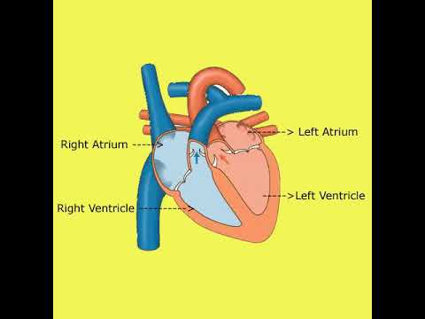 Human Heart Chamber, Work and Function. - YouTube