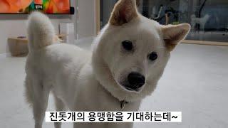 [진돗개 백구 도아] 호랑이 울음소리의 진돗개 반응