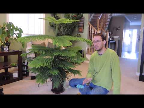 Norfolk Island Pine Care Indoors and Update