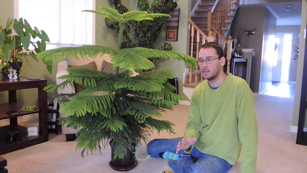Norfolk Island Pine Care Indoors and Update YouTube