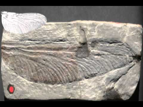 largest dragonfly fossil - YouTube