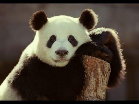 Look! 14 baby pandas napping lovely small cute animals china Panda