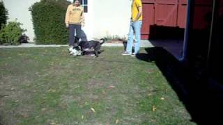 Australian Cattle Dog And Pembroke Welsh Corgi Play