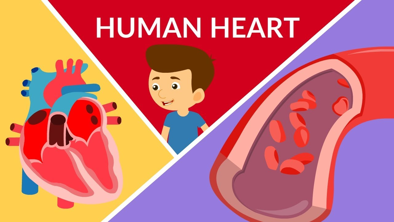 Human Heart Structure and Function |How Heart Attack ...