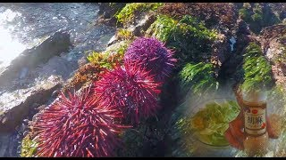 Foraging Sea Urchin(Uni) and Made Urchin Salad