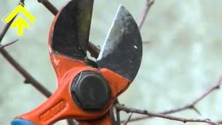 Taglio di un moncone con le forbici da potatura | SuPerAlberi