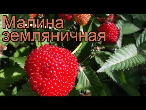 Малина земляничная (rubus) �� земляничная малина обзор: как сажать, саженцы малины