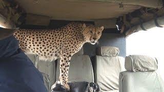 Случаи, когда дикие животные забрались в автомобили к людям