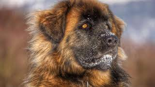 Leonberger  Dog Breed  Pet Friend