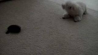 Toy Poodle Barking At Turtle