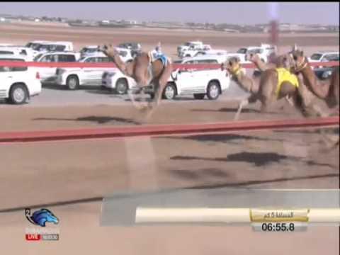 Dubai Racing - Velbloud 1