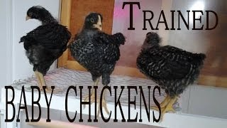 Chickens As Pets: Training chickens, 2 Week old Hand Raised Baby Chicks or pullets still in Training