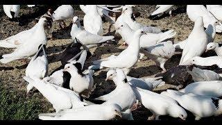 Фильм о Бакинских голубях HD 2019
