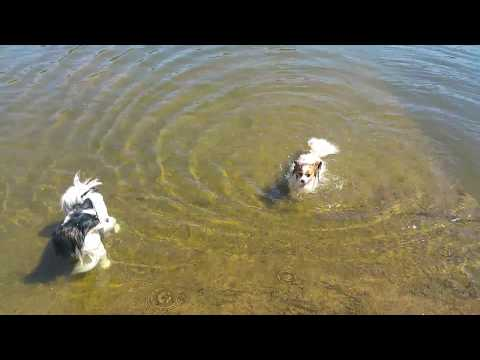 Papillons and pomeranian swimming :)