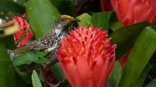 Little Wattlebird with pollen on its head