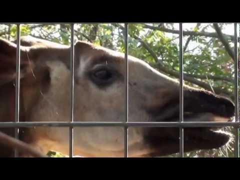 Zoo Stuttgart Wilhelma Okapi Ibina Youtube