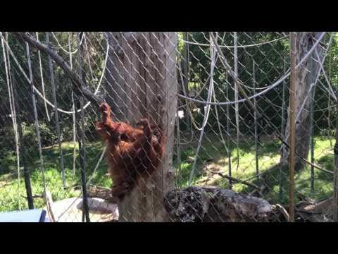 Sumatran Orangutan - Primates Behavior - Fresno zoo CA