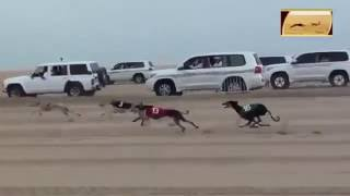 Dogs Race with Cars in desert || Really Amazing