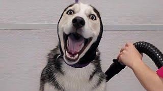 Hilarious dramatic Husky throws a temper tantrum