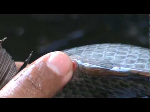 Huevo de tilapia doovi for Criar mojarras en casa