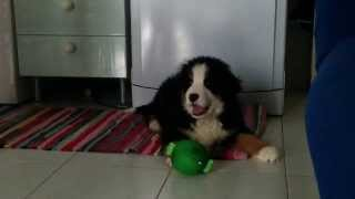 Potty il suo primo giorno a casa - 1st Day Bernese Mountain Dog at home