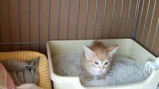 生後一ヶ月半の子猫のトイレタイムです。 ンチの時は必死に叫んでます。...