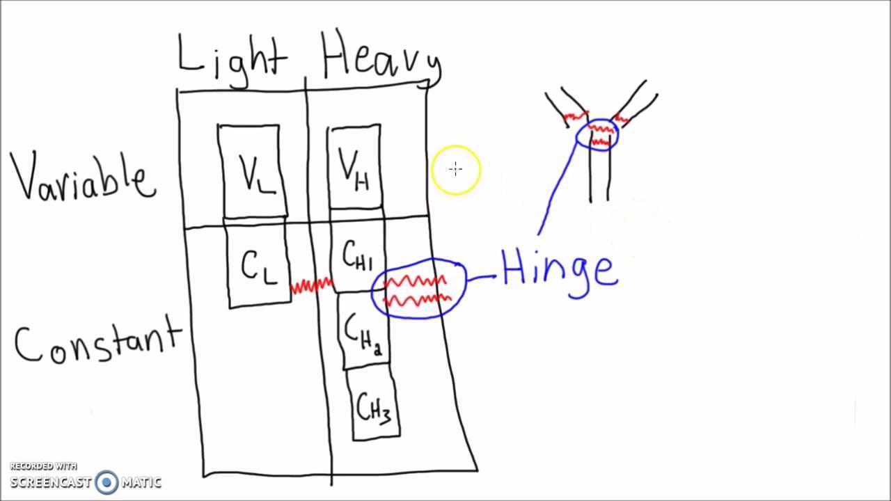 antibody structure