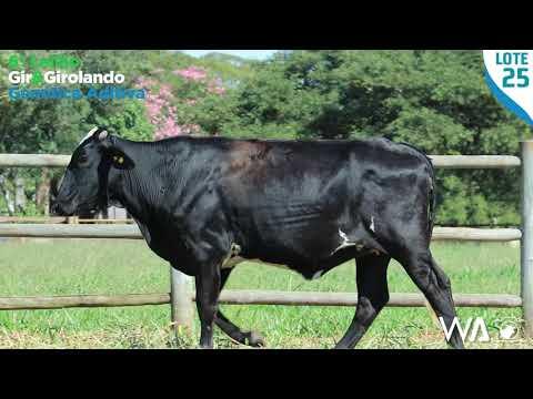 LOTE 25 - 5366 BJ - 6º Leilão Gir & Girolando Genética Aditiva