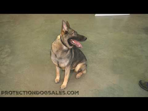 "Obedience/Tricks Super Star German Shepherd Fun Loving Amazing Young Dog ""Gabi"" For Sale"
