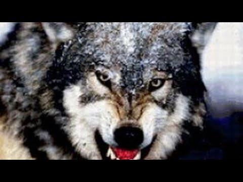 фильм документальный 2018 Волчья стая. Жизнь с волками. Документальный фильм.