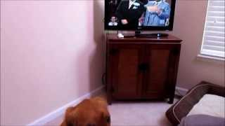 Golden Retriever Dog Barking At Tv | Family Fued