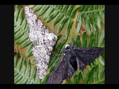 Peppered Moths Natural Selection Youtube