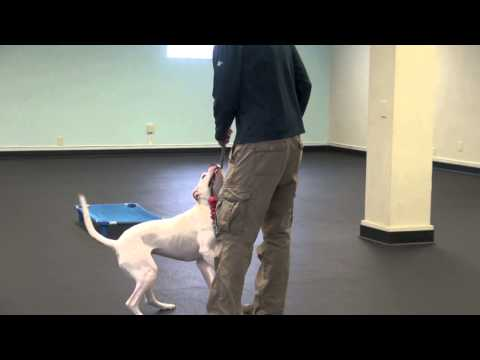 how-to-dog-training---gabby's-leash-biting