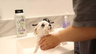 PUPPY'S FIRST BATH! [Teacup Maltese]