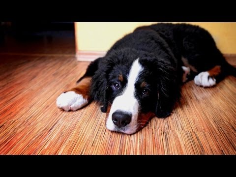 how-to-house-train-your-puppy- -puppy-care
