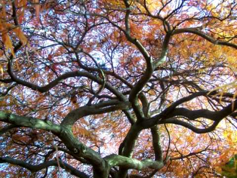 Japanese Maple-Autumn