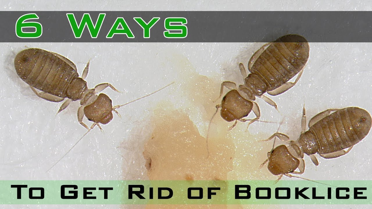 How To Get Rid Of Booklice Youtube