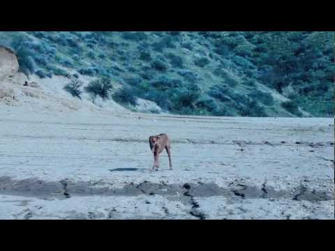 Deer Hunting - Rhodesian Ridgebacks