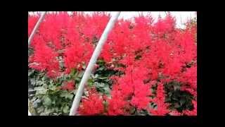 Best Perennials - Astilbe Spinell (False Spirea)