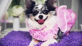 ВЛОГ День рождения собаки | Чихуахуа Софи(Собачий торт своими руками: http://goo.gl/nBXgwU Подпишись на догмаму Аню и Софи: https://goo.gl/2OhPVO Наш канал о собаках..., 2014-11-08T09:35:29.000Z)