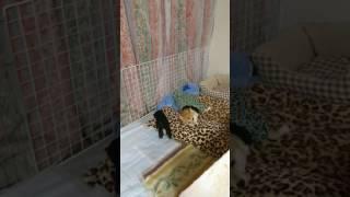 母犬育児のストレスがやばそうです( ´・ω・`) 子犬は起きて速攻かまってち...