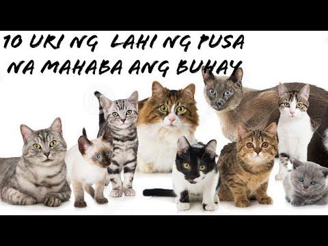 Sampung uri ng pusa na mahaba ang buhay  TOP 10 LONGEST LIVING CAT BREEDS
