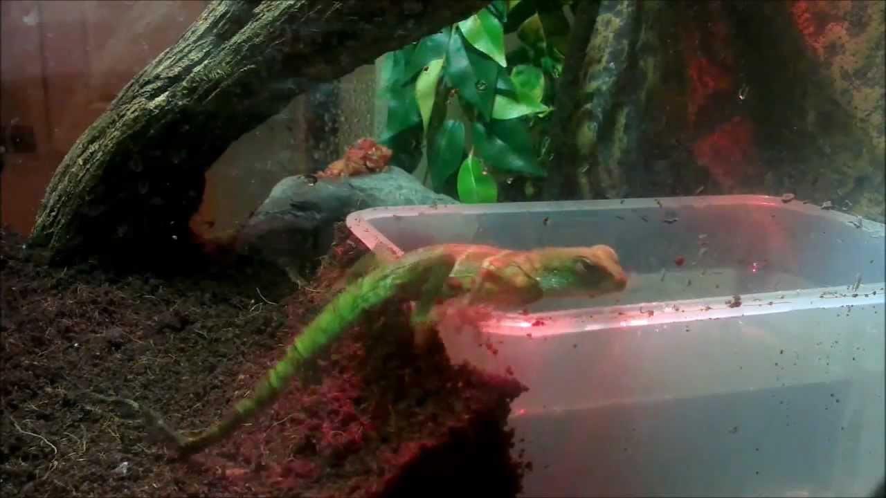baby chinese water dragon swimming youtube