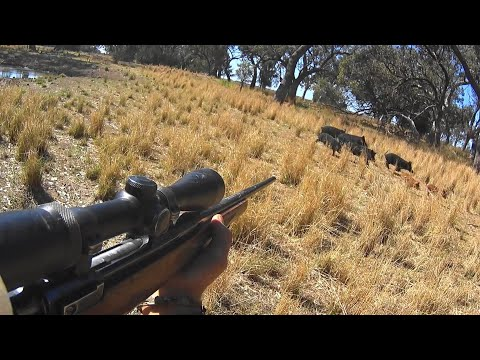 How many pigs / hogs can I take out with 100 rounds?